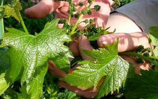 виноградные листья для долмы консервированные