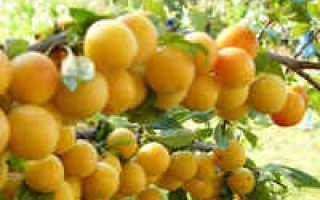 Варенье из слив без косточек с лимоном